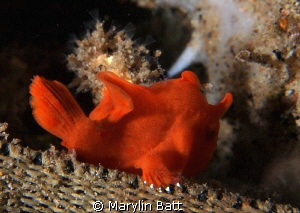 Tiny juvenile frogfish by Marylin Batt 